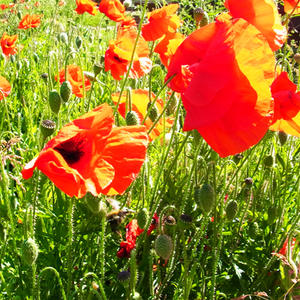 Poppies at Whitehill